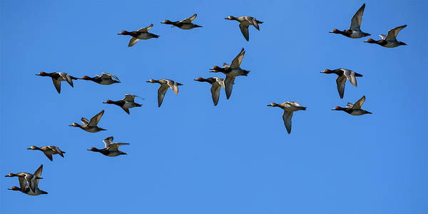 Aythya Americana Wall Art - Photograph - Flock Of Redhead Ducks In Flight by Steve Samples