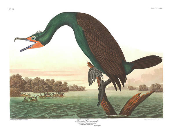 Cormorant Wall Art - Painting - Florida Cormorant by John James Audubon