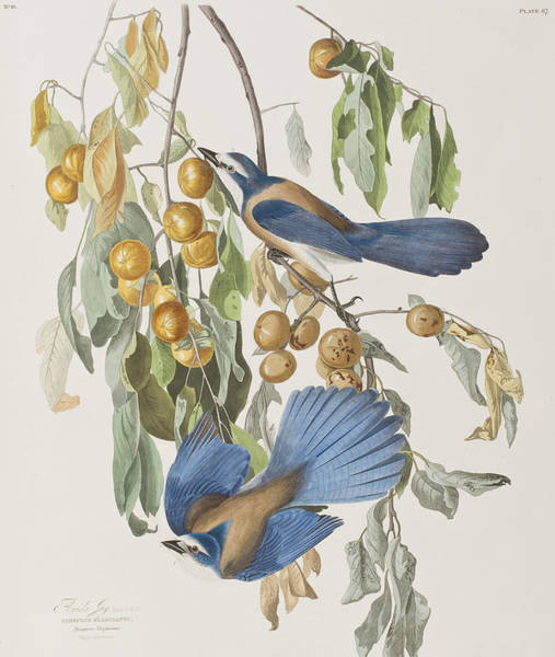 Fruit Trees Wall Art - Painting - Florida Jay by John James Audubon