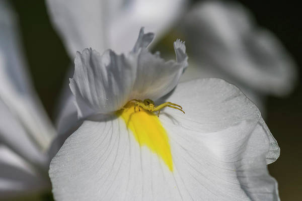 Photograph - Flower Spider by Robert Potts