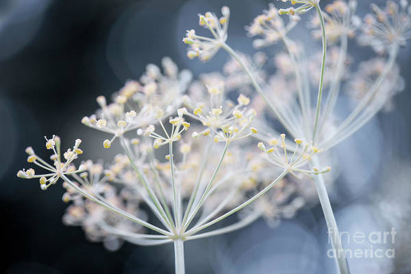 Wall Art - Photograph - Flowering Dill Clusters by Elena Elisseeva