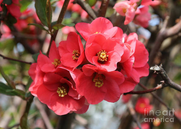 Quince Photograph - Flowering Quince by Carol Groenen