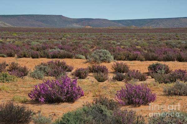 Photograph - Flowering Shrub In Richtersveldt Desert by Francesco Tomasinelli
