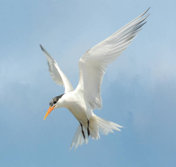 Elegant Tern Wall Art - Photograph - Flutter 2 by Fraida Gutovich