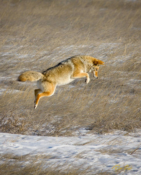 Photograph - Flying Coyote by Rikk Flohr