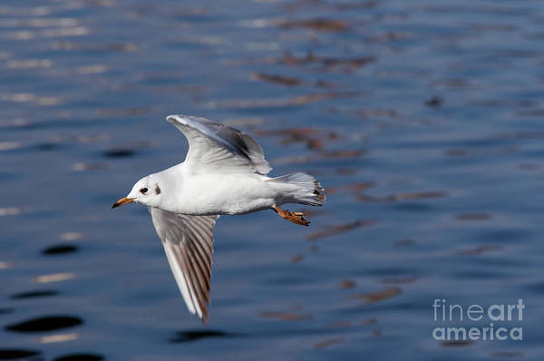 Wall Art - Photograph - Flying Gull Above Water by Michal Boubin