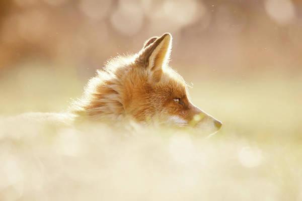 Wall Art - Photograph - Focused Fox by Roeselien Raimond