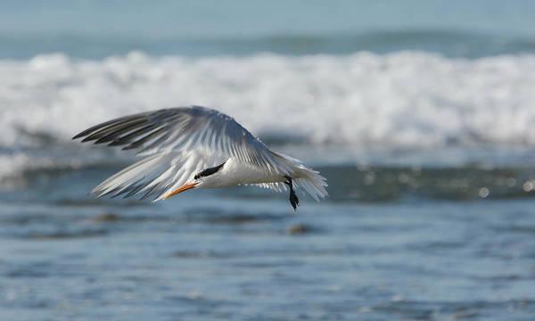 Elegant Tern Wall Art - Photograph - Follow The Wind by Fraida Gutovich