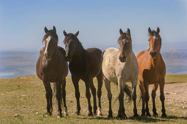 Photograph - The Four Amigos Wild Stallions by Mark Miller