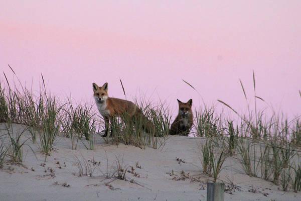 Photograph - Fox And Vixen by Robert Banach