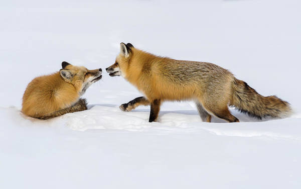 Photograph - Fox Love by Brenda Jacobs