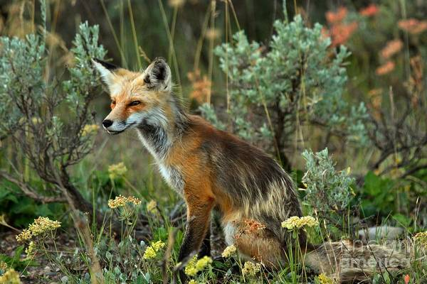Photograph - Foxy Intensity by Adam Jewell