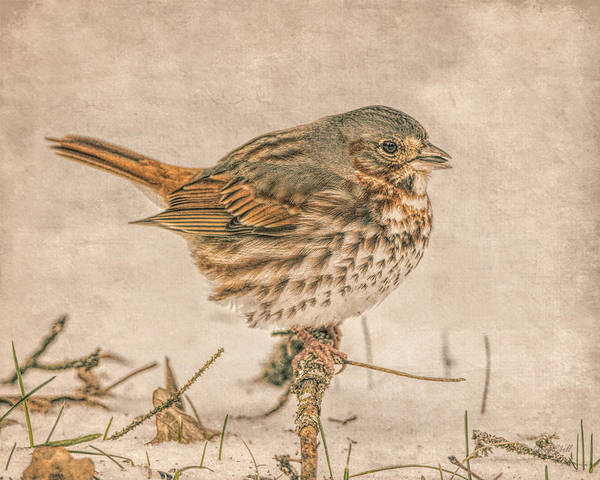 Photograph - Foxy The Sparrow by Gerry Sibell