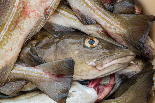 Omega Photograph - Fresh Cod, Iceland by Panoramic Images