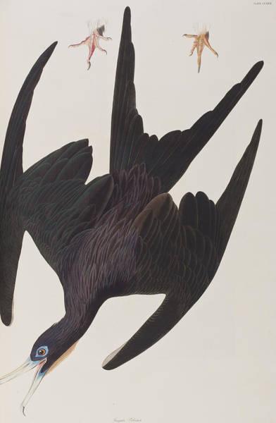 Art In America Painting - Frigate Pelican by John James Audubon