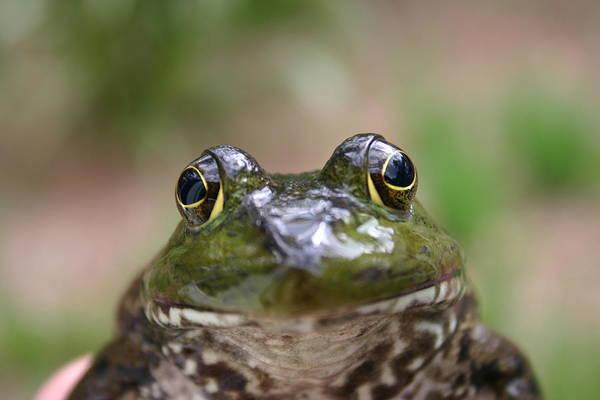 Bull Frog Photograph - Frog by David Paul Murray
