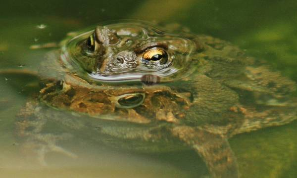 Wall Art - Photograph - Frogs Mating by Valia Bradshaw