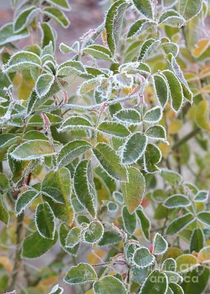 Wall Art - Photograph - Frosty Green Leaves by Carol Groenen