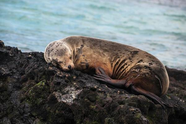 Photograph - Galapagos Sea Lion by NaturesPix
