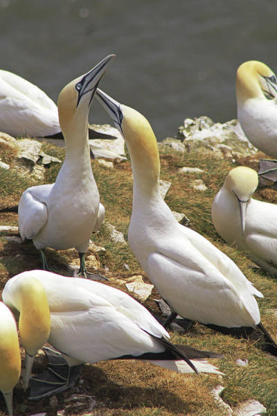 Photograph - Gannets On Bempton Cliffs  by Tony Murtagh