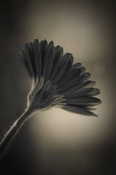Photograph - Gerbera by Maria Heyens