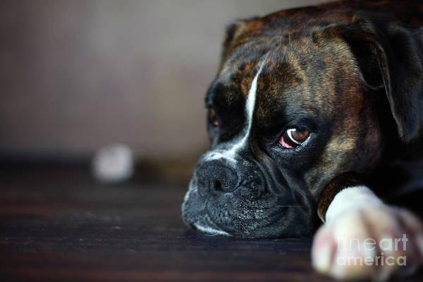 Wall Art - Photograph - German Boxer Dog by Jana Behr