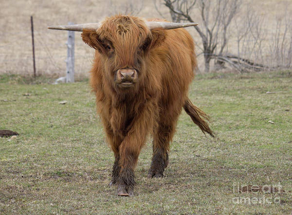 Photograph - Ginger Highland Cow by Donna L Munro