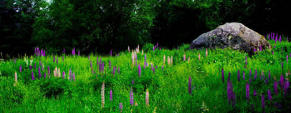 Photograph - Glacial Boulder In A Lupine Field by Wayne King