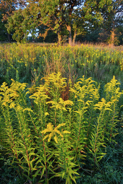 Photograph - Glacial Park Goldenrod by Ray Mathis
