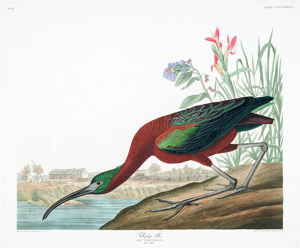 Ibis Wall Art - Painting - Glossy Ibis by John James Audubon
