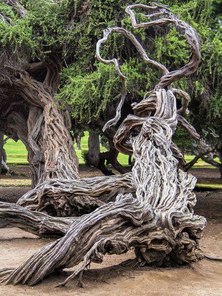 Monterey Cypress Photograph - Gnarled by Dominic Piperata