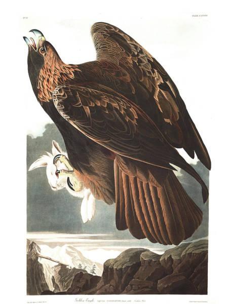 Wild Rabbit Painting - Golden Eagle by John James Audubon