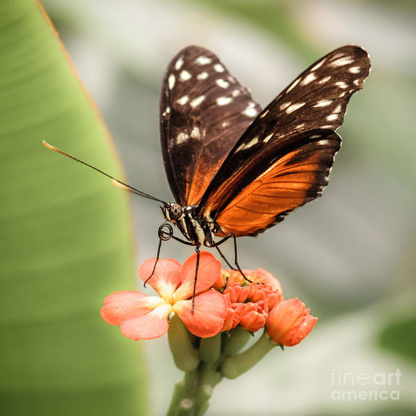 Wall Art - Photograph - Golden Helicon Butterfly by Lucid Mood