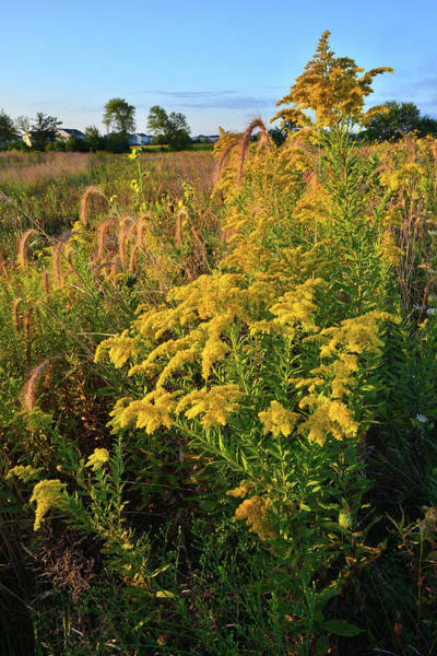 Photograph - Golden Sunrise On Goldenrod by Ray Mathis