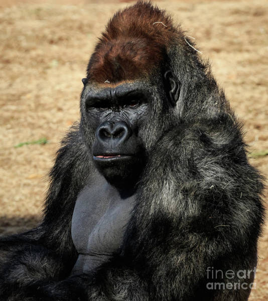 Photograph - Gorilla Portrait by Richard Smith