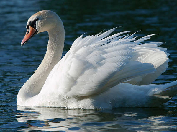 Swan Photograph - Graceful by Patrick Campbell