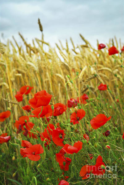 Remembrance Photograph - Grain And Poppy Field by Elena Elisseeva