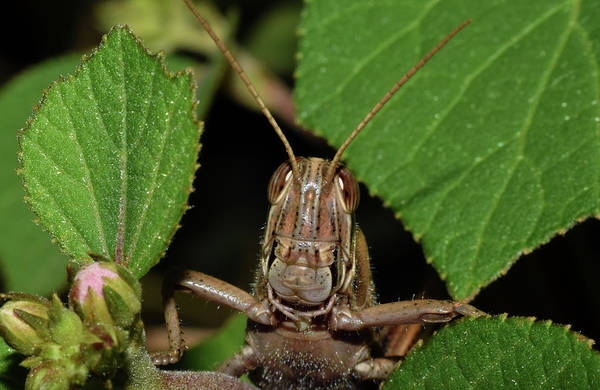 Photograph - Grasshopper by Larah McElroy