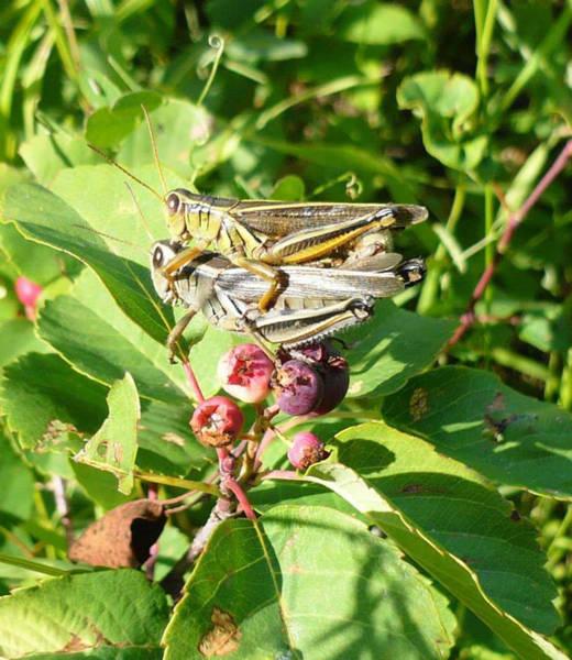 Grasshopper Love Art Print