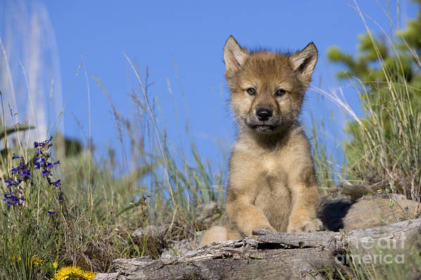 Timber Wolves Photograph - Gray Wolf Cub by Jean-Louis Klein & Marie-Luce Hubert