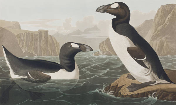Wall Art - Painting - Great Auk by John James Audubon