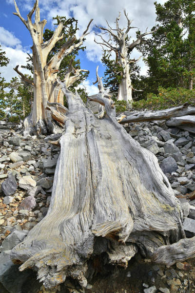 Photograph - Great Basin Bristlecone by Ray Mathis