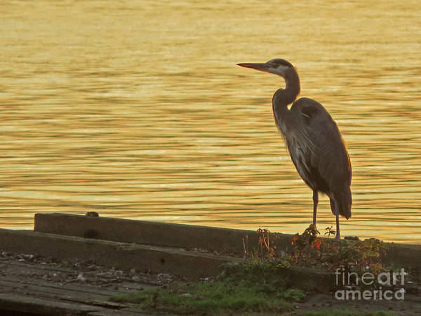 Photograph - Great Blue Heron by Cindy Murphy - NightVisions