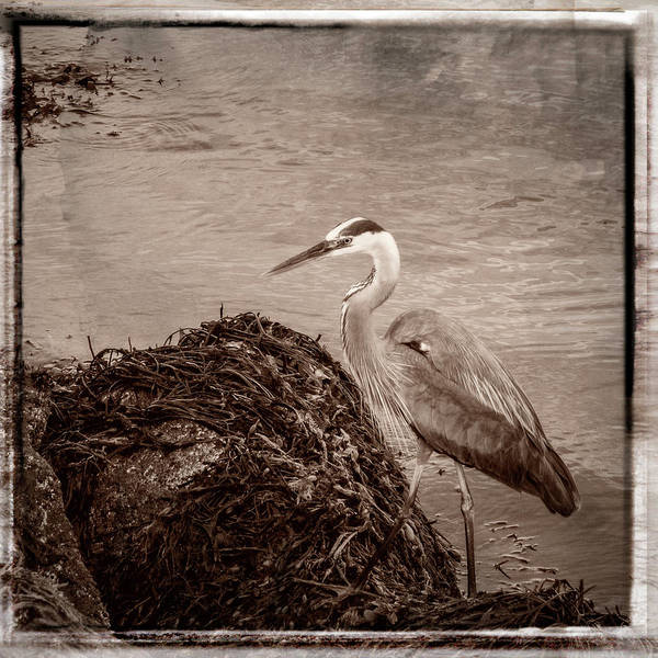 Photograph - Great Blue Heron by Frank Winters