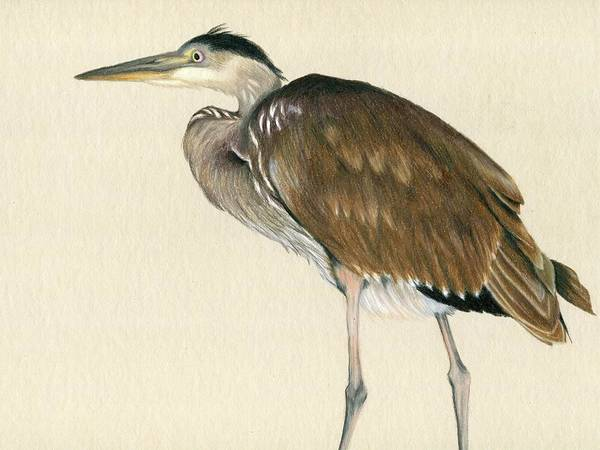 Great Blue Heron Drawing - Great Blue Heron by Heather Mitchell