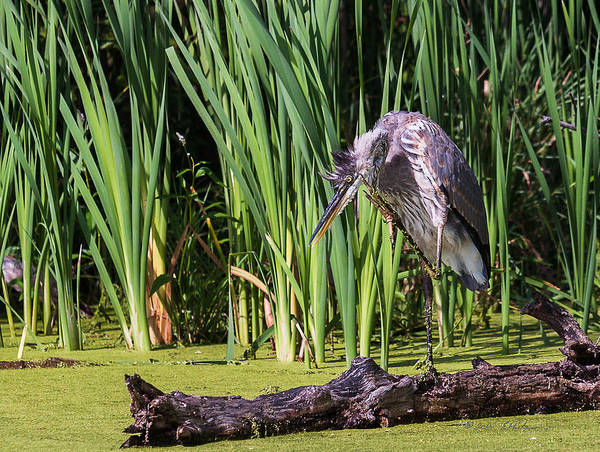 Photograph - Great Blue Heron Itch by Edward Peterson
