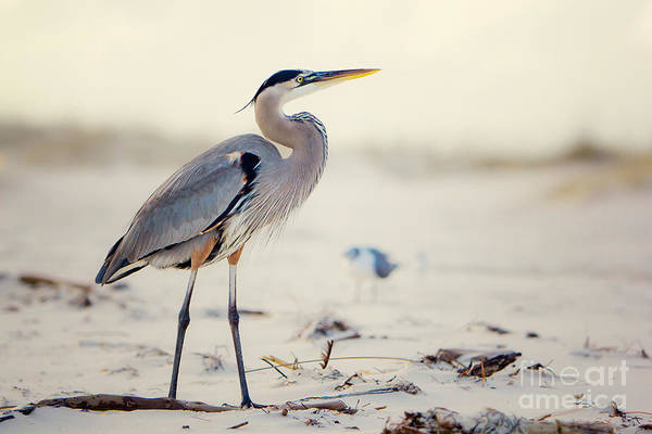 Beaches Photograph - Great Blue Heron  by Joan McCool