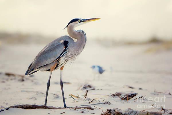 Beach Sand Photograph - Great Blue Heron  by Joan McCool