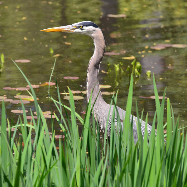 Photograph - Great Blue Heron by Ken Stampfer