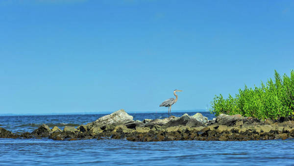 Photograph - Great Blue Heron On The Chesapeake Bay by Patrick Wolf